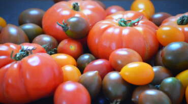 tomatoes of different coulors